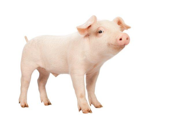 Гороскоп для свиньи, сентябрь 2018