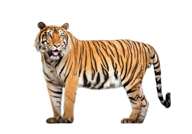 Гороскоп для тигра, сентябрь 2018