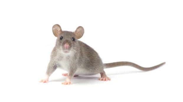 Гороскоп для крысы, сентябрь 2018