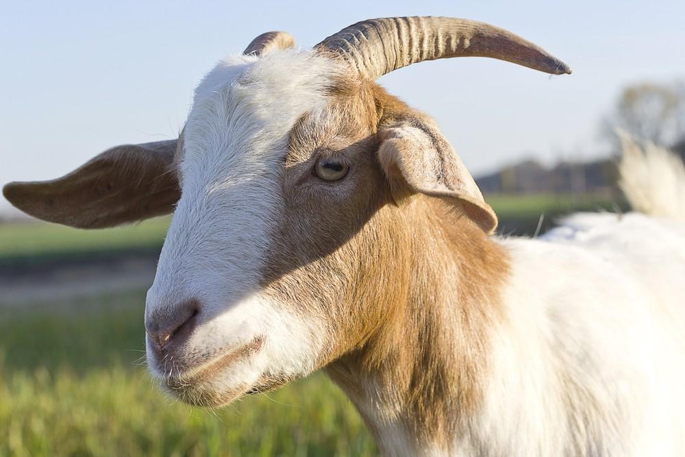 год козы для девы здоровье