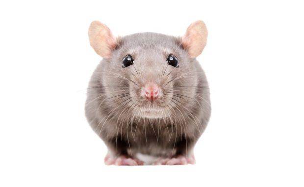 Гороскоп для Крысы на 2018 год