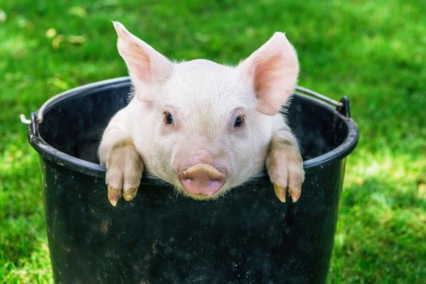 Гороскоп для Свиньи на 2018 год