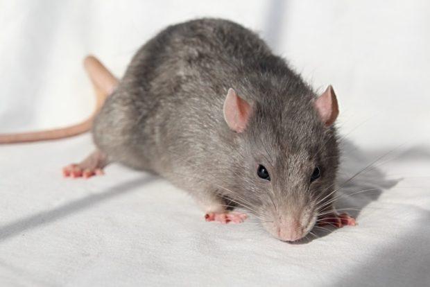 Восточный гороскоп для Крысы