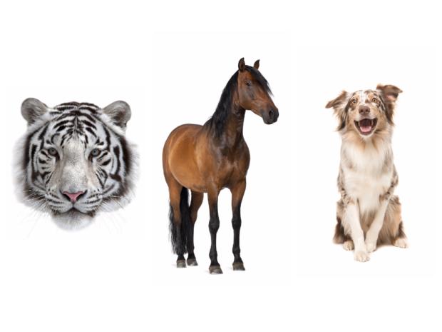 Тигр, Лошадь, Собака